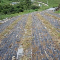 除草作業が終わったカモマイル・ジャーマン畑