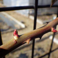 つるバラの芽はタケノコの様に日毎に伸びています