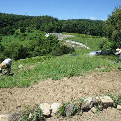 カモマイル・ジャーマン畑の除草作業