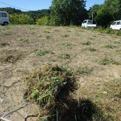 除草の終わったカモマイル・ジャーマン畑の草を片付けました