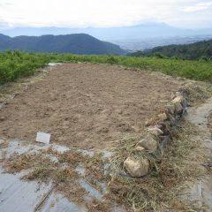 カモマイル・ジャーマン畑の除草した草を片付けました