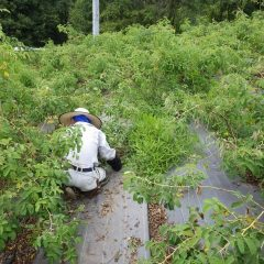 ローズの茂った枝に埋もれながら除草作業を一からやり直しです