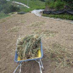 次の畑の草片付け