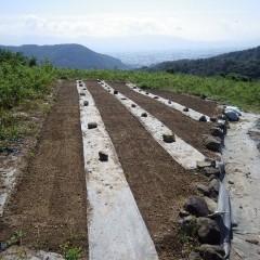 9月24日に播種したカモマイル・ジャーマン畑