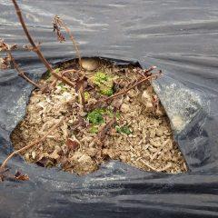 レモンバームの新芽が寒さに耐えています