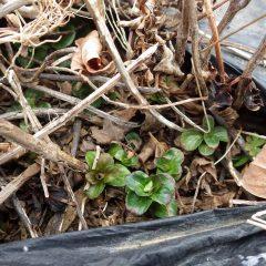 マルチの穴から顔を出したベルガモットミントの新芽