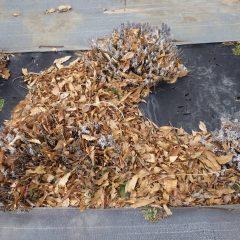 落ち葉に埋もれたラベンダーの株