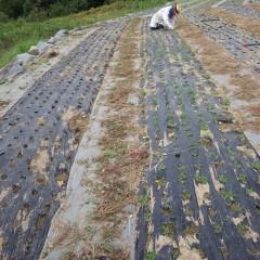 マルチの穴から生えてきた雑草の除草をして播種の準備です