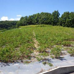 真夏の炎天下の中、ローズ畑の除草作業が続いています