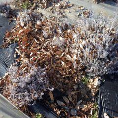 落ち葉に埋もれたラベンダー