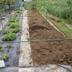 レモンバーム畑の改良作業