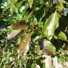外側の葉は一部寒さで焼けて変色していました
