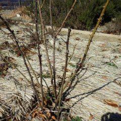 仮剪定で古い枝も新しい枝も残したままの状態