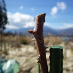 支柱の上の芽で枝を切って本剪定終了です