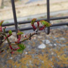 つるバラは次々に葉を開き始めています