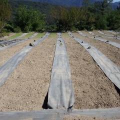 10月5日に播種したカモマイル・ジャーマン畑