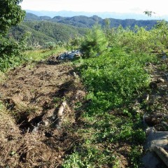 放っておくと種を作って撒き散らすので除草します