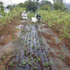 ペパーミントの蒸留が始まり収穫作業が始まりました
