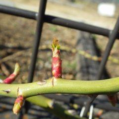 つるバラの芽はタケノコのように伸びて葉を広げ始めています