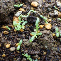 14日に蒔いた種が次々に発芽して中には本葉が出始めたものもあります