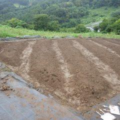 雨が小康状態になったので畝立てをした畑に種を蒔きます