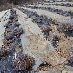 清掃作業の終わったラベンダー畑