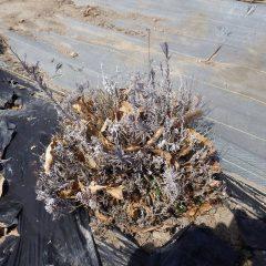 冬の間に傷んで枝が枯れてしまった株