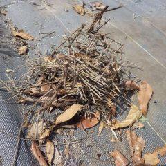 枯れた枝を切り取りました