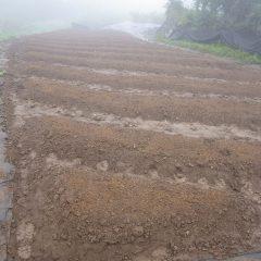 蒔き終わると雨はまた本降りになって来ました