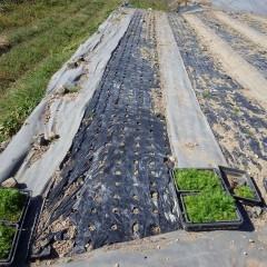 カモマイル・ジャーマン畑に苗を定植する作業も続いています