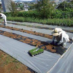 朝まで降っていた雨も上がりカモマイル・ローマンの苗を定植しました