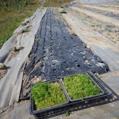 除草したマルチにカモマイル・ジャーマンの苗を植える続きです