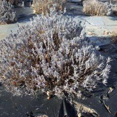 順調に越冬したラベンダーの株