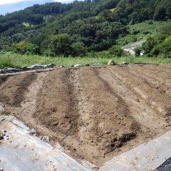 傾斜畑の雨水は畝間を流れ畑の表土は流されていません