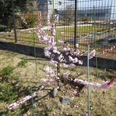 事務局前ではアプリコットの花が枝いっぱいに咲いています