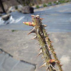 ローズの芽はこんなに伸びています