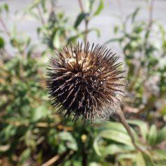 種の出来た剣山の様な花頭