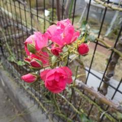 つるバラが最後のひと咲き