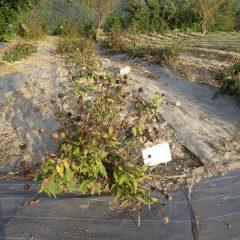 農場のエキナセアの花頭も切り取って収穫しました