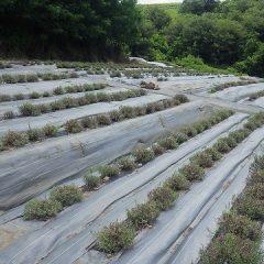 収穫の終わったラベンダー畑