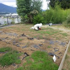 事務局前のカモマイル・ローマン畑の除草作業