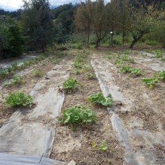 除草が終わって綺麗になったブラックマロウ畑