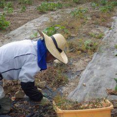 農場ではブラックマロウ畑の除草作業が進んでいます