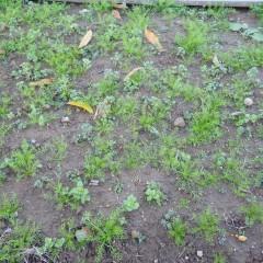 苗も大きくなりましたが雑草も負けじとはびこっています