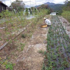 ブラックマロウ畑の除草が終わるとローズ畑の除草した草の片付け作業