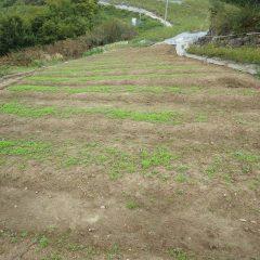 カモマイルだけでなく雑草も大きくなっているのが気がかりです