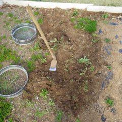 冬の間にビッシリ生えた雑草をはぎ取ります