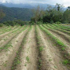 こちらの畑も緑が目立って来ました