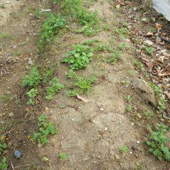 よく見ると雑草もカモマイルを上回る勢いで育っています
