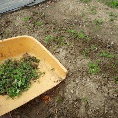 除草してカモマイルの成長を促します